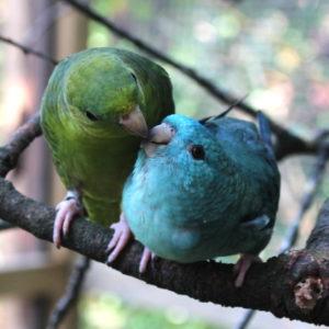 Männchen (grün) füttert bettelndes Weibchen