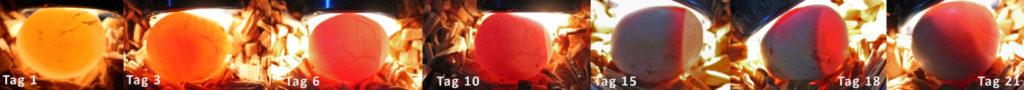 Die Entwicklung des Embryos im Ei vom Tag der Eiablage bis zum Tag des Schlupfes.