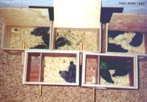 Nistkästen mit unterschiedlich alten Küken: Die beiden vorderen Kästen sind unterteilt