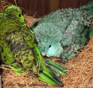 Zwei brütende Weibchen teilen sich einen Nistkasten