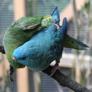 Das Männchen (grün) legt ein Bein auf den Rücken seiner Partnerin und begattet sie von der Seite