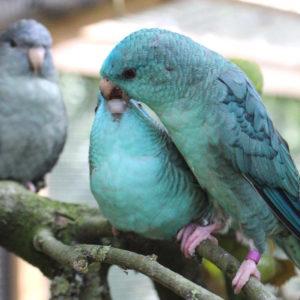 Auch nach dem Ausfliegen werden die Jungvögel noch gefüttert