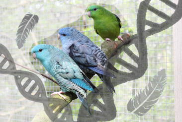 Gefiederfarbe und Genetik